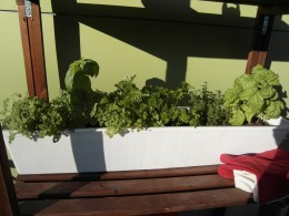 The curly basil is on the right.